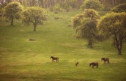 Caballos salvajes y árboles florecientes en un prado verde i Foto de archivo