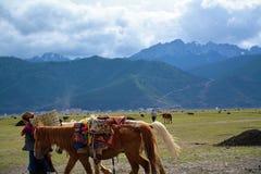 Caballos tibetanos de la fricción de la mujer con el fondo de la montaña de la nieve Fotos de archivo