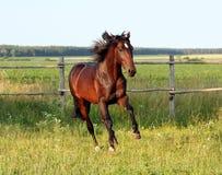 Caballos ucranianos de la raza del caballo Foto de archivo libre de regalías