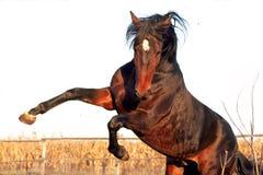 Caballos ucranianos de la raza del caballo fotografía de archivo