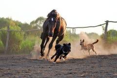 Caballos ucranianos de la raza del caballo Foto de archivo
