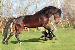 Caballos ucranianos de la raza del caballo Imágenes de archivo libres de regalías