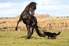 Caballos ucranianos de la raza del caballo Imagen de archivo