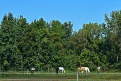 Caballos vistos en Wayne County New York Imagen de archivo libre de regalías