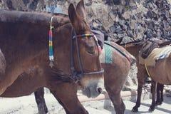 Caballos y burros en la isla de Santorini - el transporte tradicional para los turistas fotografía de archivo