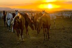 Caballos y ganado en la puesta del sol Imagenes de archivo