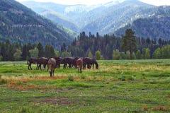 Caballos y mulas, Rock Creek, Montana Fotografía de archivo libre de regalías