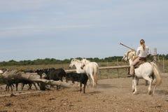 Caballos y toros de Camargue Foto de archivo libre de regalías