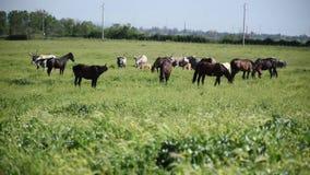 Caballos y vacas que pastan almacen de metraje de vídeo