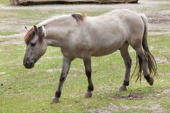 Caballus de ferus d'Equus de cheval d'estacade à claire-voie Photographie stock libre de droits