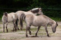 Caballus de ferus d'Equus de cheval d'estacade à claire-voie Image stock