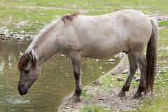 Caballus de ferus d'Equus de cheval d'estacade à claire-voie Photos stock
