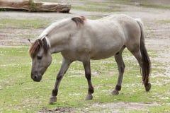 Caballus de ferus d'Equus de cheval d'estacade à claire-voie Photo libre de droits
