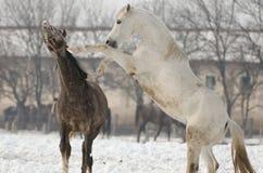 Caballus di ferus di equus Fotografia Stock