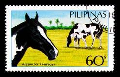 Caballus di ferus di Pinto Equus, serie filippino dei cavalli, circa 1985 Immagine Stock Libera da Diritti