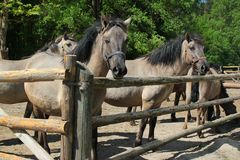 Caballus för ferus för Konik polskiEquus, en polsk primitiv häst arkivfoto