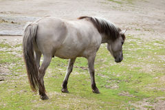 Caballus ferus Equus αλόγων Heck Στοκ Φωτογραφίες