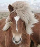 Исландский крупный план лошади (caballus ferus Equus), вытаращить на камере Стоковые Фотографии RF