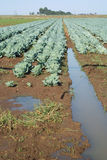 Cabbabe in irrigated field. Cabbages growing in rural farm field with irrigation water Stock Photos