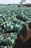 cabbabefält royaltyfri bild