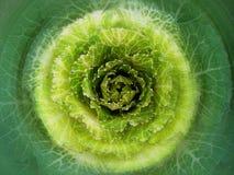 cabbag Стоковое Изображение