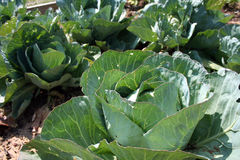Cabbage. Heads grow in a garden during the spring Stock Images
