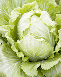 Cabbage. Fresh green Chinese cabbage background,single and closeup Stock Images