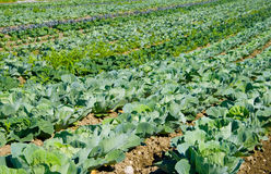 Cabbage. A plantation of white cabbage Stock Photo