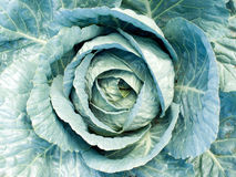 Cabbage. Stock Photography
