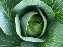 Cabbage. Fresh and healthy green cabbage Royalty Free Stock Image