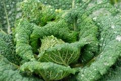Cabbage Stock Photos