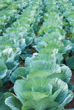 Cabbage. Photo of cabbage green field Stock Photos