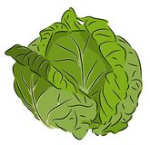 Cabbage. Beautiful  illustration of colorful fresh cabbage. On a white background Stock Photos