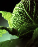 Cabbage. A fresh cabbage with water drops stock photo