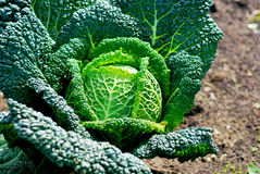 Cabbage. With succulent green leaves, ripe for harvesting Royalty Free Stock Image