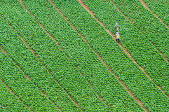 Cabbage. Farmland with a workman at thailand Royalty Free Stock Photography