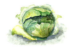 Cabbage. Watercolor illustration of green cabbage stock illustration
