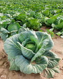 Cabbage. Green cabbage on a garden field Royalty Free Stock Photos