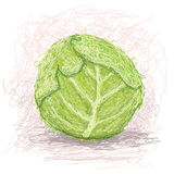 Cabbage. Closeup illustration of a fresh cabbage vegetable stock illustration