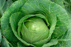 Cabbage. Big green cabbage from ecological farm Stock Photo