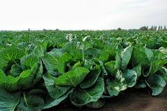 Cabbage1 Zdjęcie Stock