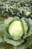 Cabbage. Ripe cabbage in the garden Royalty Free Stock Image