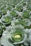 Cabbage. Crop Stock Photos