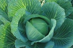 Cabbage. Stock Photo