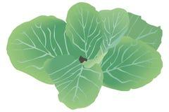 Cabbage. Art illustration of a cabbage, Brassica oleracea vector illustration