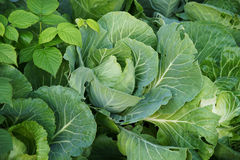 Cabbage. Fresh green cabbage-head on vegetable garden Royalty Free Stock Images