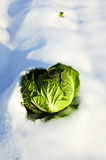 Cabbage. The green cabbage in the snow, is still vital Royalty Free Stock Images