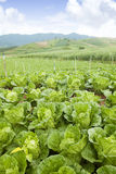 Cabbage on an agriculture field. With blue sky Stock Image