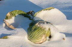 Cabbage amid the snow. Cabbage on a snow-covered field Stock Photography
