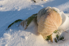 Cabbage amid the snow. Cabbage on a snow-covered field Stock Photos